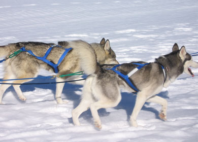 sled dogs at lotus lake discovery center